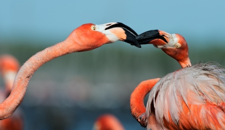 maximo: Portrait of two fighting  Flamingo on the blue background   Rio Maximo, Camaguey, Cuba   Stock Photo