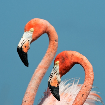 Portrait of two Great Flamingo on the blue background   Rio Maximo, Camaguey, Cuba   photo
