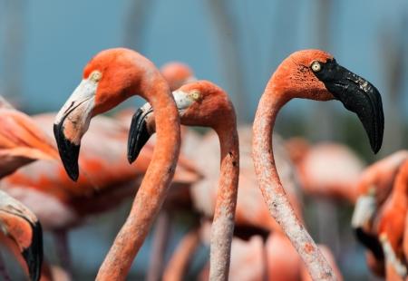 maximo: Portrait of group Great Flamingos on the blue background   Rio Maximo, Camaguey, Cuba