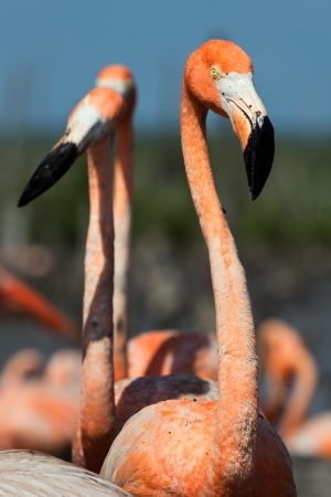 Portrait  Great Flamingo on the blue background   Rio Maximo, Camaguey, Cuba   photo