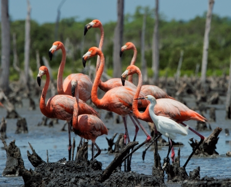 maximo: Group of American Great Flamingos and white egret    Rio Maximo, Camaguey, Cuba