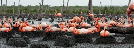 Colony of Great Flamingo the on nests  Rio Maximo, Camaguey, Cuba   photo