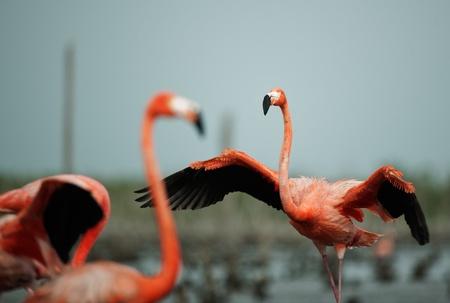 maximo: Portrai of two Great Flamingo on the blue background   Rio Maximo, Camaguey, Cuba