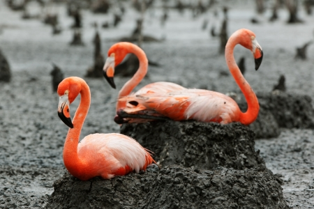 Colony of Great Flamingo  Birds  on the nests  Rio Maximo, Camaguey, Cuba   photo