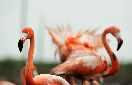 maximo: Portrait of two Great Flamingo on the blue background   Rio Maximo, Camaguey, Cuba   Stock Photo