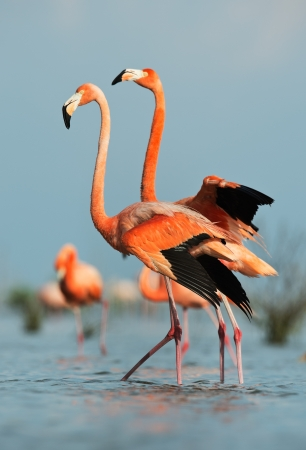Portrait of two Great Flamingo on the blue background   Rio Maximo, Camaguey, Cuba   Stok Fotoğraf