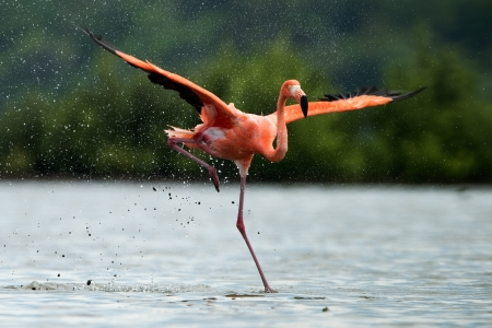 American Flamingo ( Phoenicopterus ruber ) run on the water with splashes.