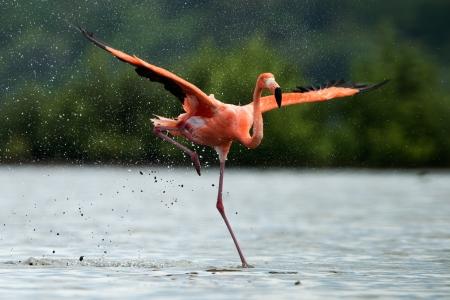 flamingos: American Flamingo ( Phoenicopterus ruber ) run on the water with splashes.