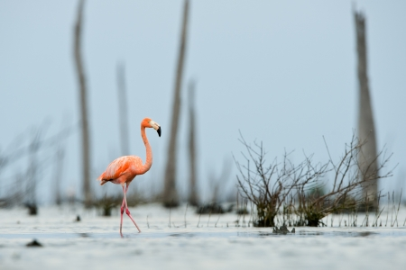 The pink Caribbean flamingo ( Phoenicopterus ruber ruber ) goes on water. In blue twilight the pink flamingo goes on a swamp. photo