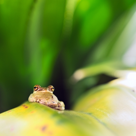 invasive species: Cuban Tree Frog  Osteopilus Septentrionalis  on a leaf Stock Photo