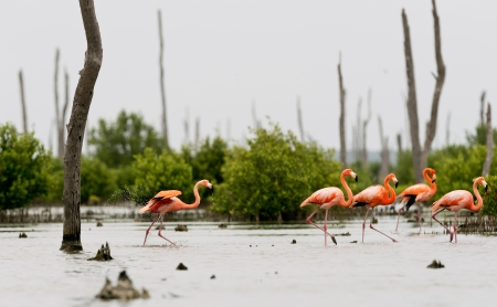 wader: The pink Caribbean flamingo   Phoenicopterus ruber ruber   goes on water  Pink flamingo goes on a swamp