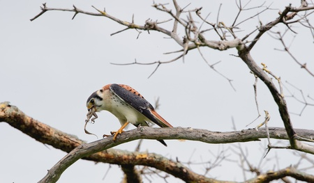 bird eating raptors: Young American Kestrel   Falco sparverius    perched on branch and eats  lizard