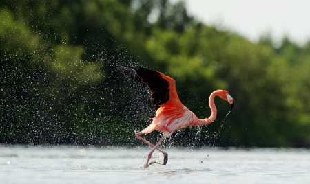 American Flamingo   Phoenicopterus ruber   run on the water with splashes  Stock Photo