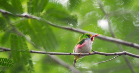 chordata: CUBAN TODY  Todus multicolor  endemic species perched on branch  Green Background  Republic of Cuba in March