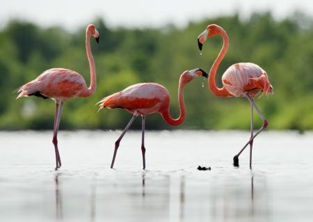 The pink Caribbean flamingo ( Phoenicopterus ruber ruber ) goes on water. Pink flamingo goes on a swamp.