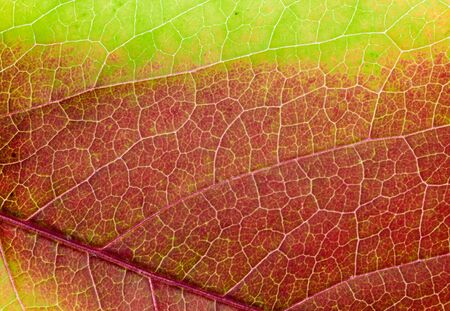aspen leaf: Red leaf of an aspen with yellow streaks  Close up  Autumn coloured leaf macro shot