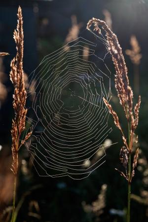 spider net: Back light spider net dewdrop net spider  Dark background