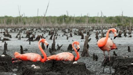 maximo: Colony of Great Flamingo the on nests  Rio Maximo, Camaguey, Cuba   Stock Photo