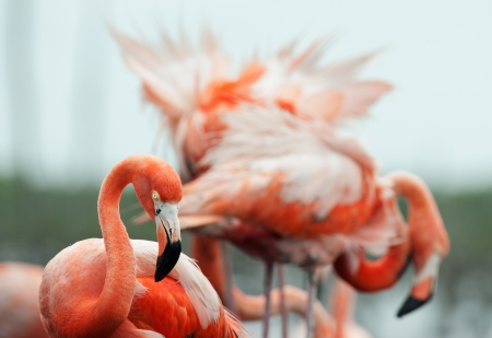 maximo: Portrait of Great Flamingo   Phoenicopterus ruber    Rio Maximo, Camaguey, Cuba