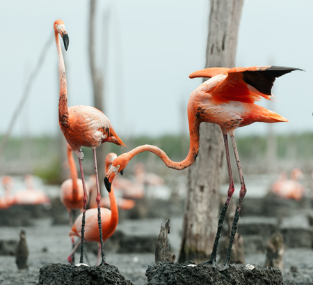 maximo: Colony of Great Flamingo the on nests  Rio Maximo, Camaguey, Cuba   Stock Photo