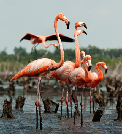 Colony of Great Flamingo the on nests  Rio Maximo, Camaguey, Cuba   写真素材