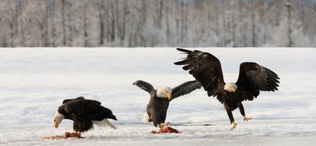 Three Bald Egles  HALIAEETUS LEUCOCEPHALUS  eat a salmon on snow