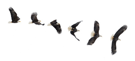 Various phases of a flying  bald eagle ( Haliaeetus leucocephalus ). Isolated white background
