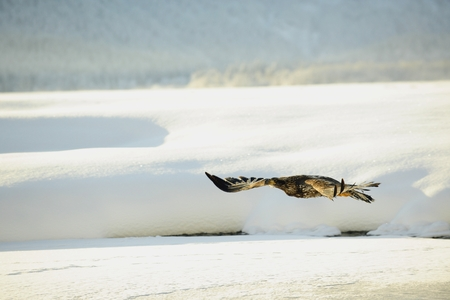 Bald Eagle flying against snow-covered mountains of Alaska  Sunset  photo