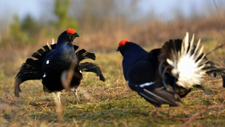 Two lekking black grouses close up  Picture at a short distance  Early spring  Russia  photo