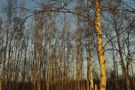 The Winter birch wood in the light of the sunset sun  photo