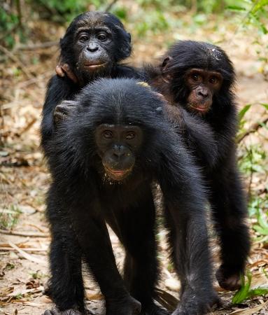 pan paniscus: Three cubs of Chimpanzee bonobo  ( Pan paniscus). Democratic Republic of Congo. Africa