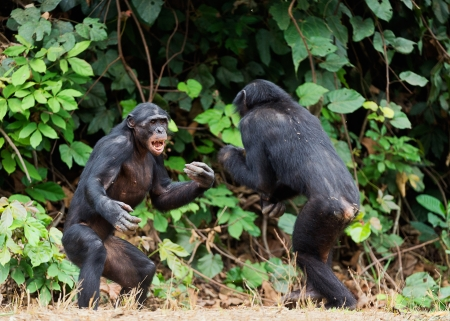 bonobo: Luchar bonobo Chimpanc� (Pan paniscus). Rep�blica Democr�tica del Congo. �frica