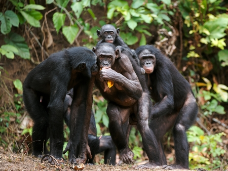 Portrait of family of a Chimpanzee bonobo ( Pan paniscus). Democratic Republic of Congo. Africa