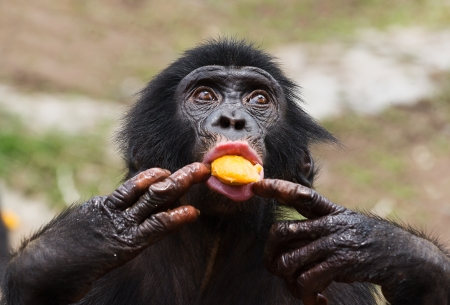 Cub of a Chimpanzee bonobo ( Pan paniscus). Democratic Republic of Congo. Africa Stock Photo - 25100547
