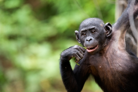 Cub of a Chimpanzee bonobo ( Pan paniscus). Democratic Republic of Congo. Africa  Stock Photo - 25100610