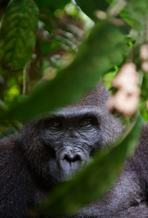 africa jungle: Portrait of a female of The western lowland gorilla (Gorilla gorilla gorilla) close up at a short distance. Democratic Republic of Congo. Africa