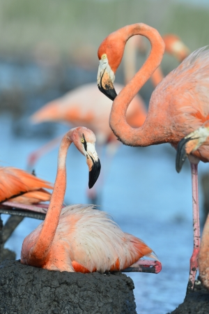 Portrait of the two Caribbean flamingo. A portrait of the Caribbean flamingo in bird colony.  photo