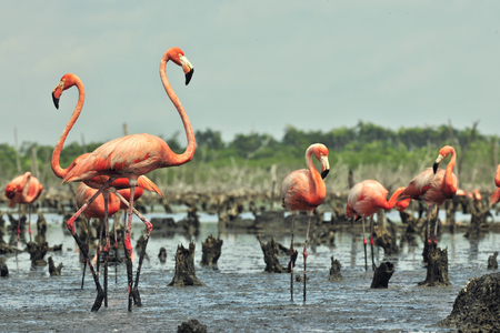 maximo: Colony of Great Flamingo  the  on nests. Rio Maximo, Camaguey, Cuba. Stock Photo