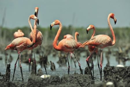 maximo: Colony of Great Flamingo  the  on nests. Rio Maximo, Camaguey, Cuba. Stock Photo