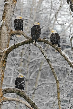 Portrait of an eagle sitting on a snow branch  Haliaeetus leucocephalus washingtoniensis  photo