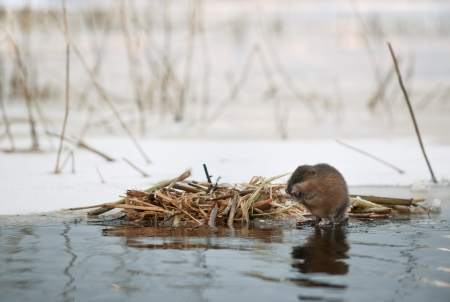 muskrat: The muskrat  Ondatra zibethicus  eats at the house near water