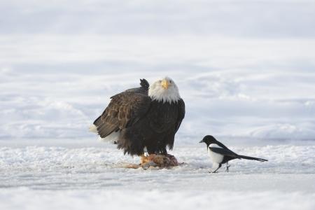 The Bald eagle    Haliaeetus leucocephalus   sits on snow and eats a salmon  Nearby magpie  Alaska photo