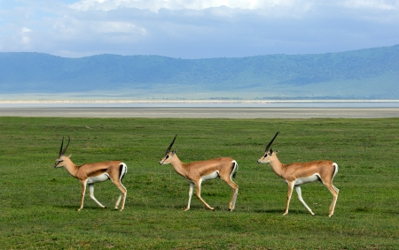 synchronously: Three gazelles of the grandee synchronously go on a green grass in crater Ngoro Ngoro