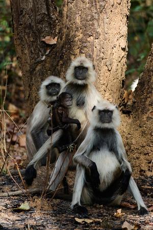 gray langur: Family photo  The family photo Hanuman Langurs under a tree  India  Gray langurs or Hanuman langurs,  Semnopithecus entellus  Stock Photo