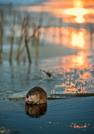 muskrat: Muskrat  Ondatra Zibethica   on an ice edge  The muskrat sits on an ice edge on a sunset Stock Photo