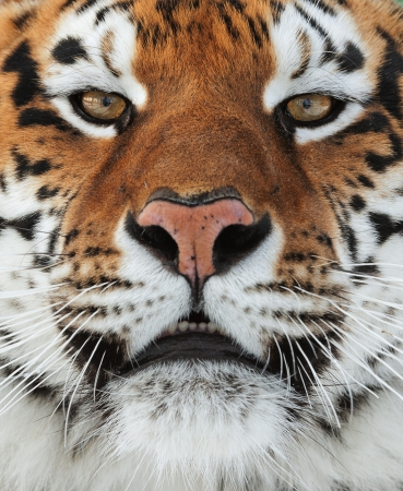 The Siberian tiger  Panthera tigris altaica  close up portrait  Isolated on white background photo