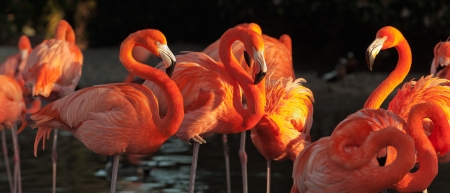The American Flamingo  Phoenicopterus ruber  over beautiful sunset, flock of exotic birds at natural habitat, Cuba  Rio Maximo  park  Group of flamingos against a dark background in decline beams    Stock Photo