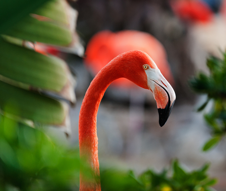 maximo: The American Flamingo  Phoenicopterus ruber  over beautiful sunset, flock of exotic birds at natural habitat, Cuba  Rio Maximo  Group of pink flamingos against a dark background in decline beams