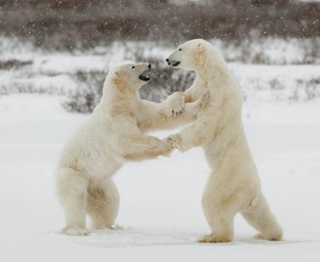 hinder: Two polar bears play fighting. Polar bears fighting on snow have got up on hinder legs.