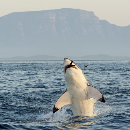 Great White Shark  Carcharodon carcharias  breaching in an attack on seal , South Africa  photo